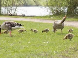 Greylag Geese (Anser Anser) with their offspring in Germany