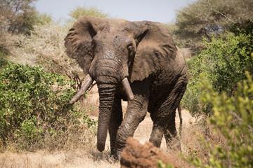 Old elephant in the savannah. Africa. Kenya. Tanzania. Serengeti. Maasai Mara.