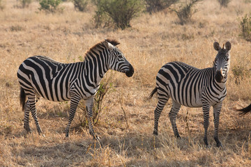 Group of zebras in the savannah