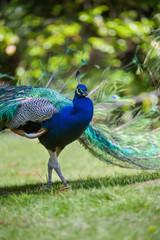 Portrait of male peacock