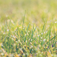 Close up of fresh thick grass with water drops in the early morning. green grass close up. Bright vibrant green grass. Bright vibrant green grass