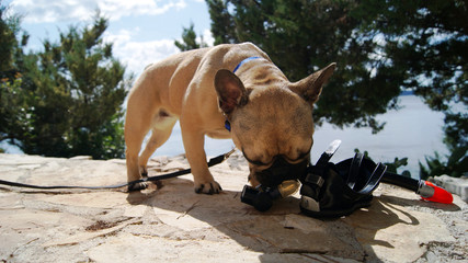 Snorkeling diving, french bulldog with mask.