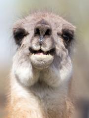 Lama in zoo in nature