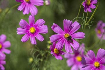 Flores cosmo (Cosmos bipinnatus )