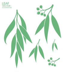 Eucalyptus. Isolated leaves on white background