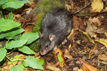 Brown rat- Rattus norvegicus