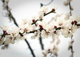 Flowering apricot tree in the garden in spring