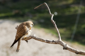 A female lesser kestrel on a branch. Extremadura (Spain).