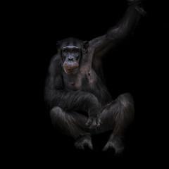 Thinking chimpanzee portrait close up at black background