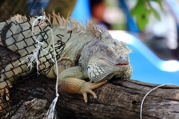 Green Iguana Shedding Skin
