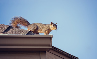 Photo sur Aluminium Squirrel Squirrel on the roof top