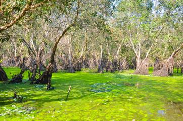 Melaleuca forests in Mekong delta