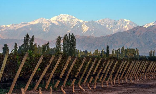 Early morning in the late autumn vineyard, Aconcagua Cordillera