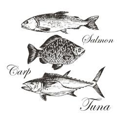 vector fish sketch drawing - salmon, trout, carp, tuna. hand drawn sea food illustration