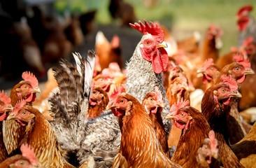 Hühnerhof - Hahn bewacht seine Hühnerschar