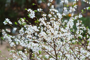 Spring flowering cherry tree in the garden