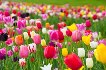 Tulpenbl眉te