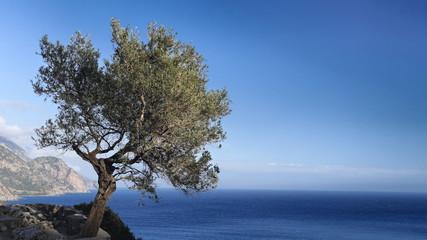 Olivenbaum über dem Libyschen Meer an der Südküste von Kreta