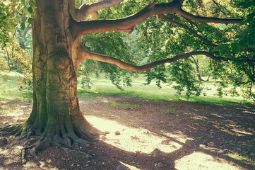 magnificent ancient oak