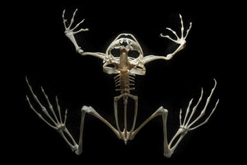 skeleton on a frog