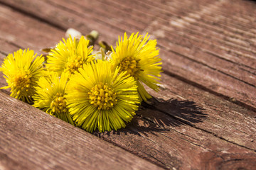 Coltsfoot flowers  are on the bench in spring