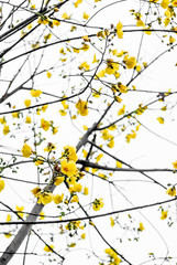 Yellow flower on tree isolated on white sky