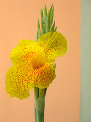 Canna lily, a tropical flowering plant