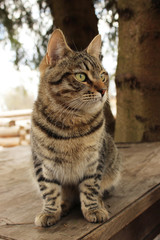 Mudlark yang cat Barsik is sitting on a wooden table near old fir trees, village Nizovskaya, Leningrad region, Russia.