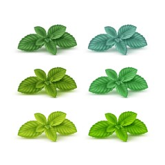 Vector Mint Spearmint Peppermint Leaf Leaves Set Isolated on White