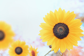 Sunflowers over sky background, close up
