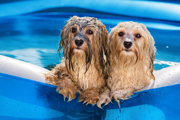 Foto op Canvas Hond Two cute havanese dog rely on the edge of an inflatable pool