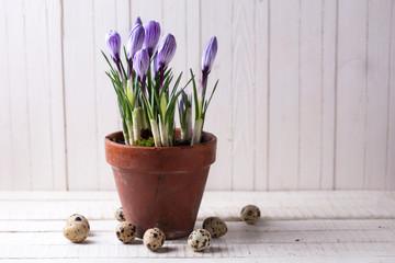 Fresh spring flowers crocuses in old terracotta pot  and quail e