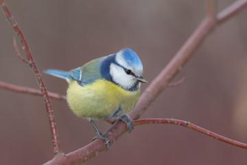 Recess Fitting Bird blue tit on a branch closeup