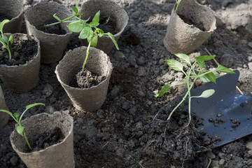 Planting young peppers seedlings in peat pots on soil background