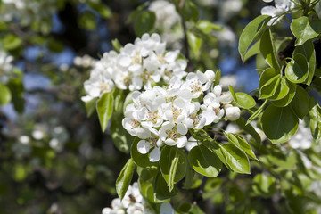 Pear blossom on green background