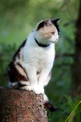 Beautiful calico cat walking grass