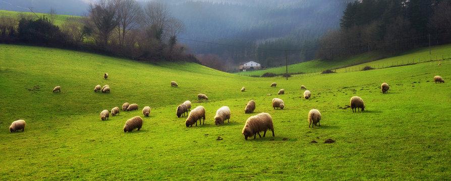 panorama of sheep grazing
