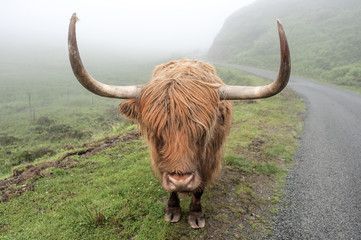 near Elgol, Skye, Scotland: Scottish Highland cattle with long horns and red hide on a foggy day next to a narrow road