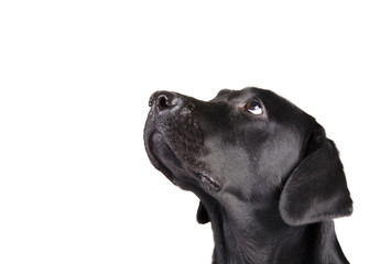 Portrait of a black Labrador Retriever looking up (isolated on white, with copy space on the left for your text)