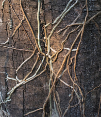 Roots of orchids on bark