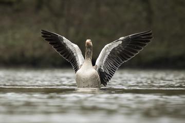 Greylag goose washing