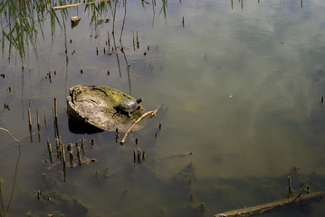 Water turtle on a log in the lake