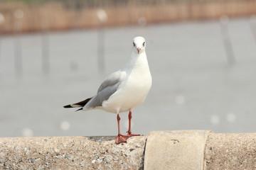 Aloofly Seagull