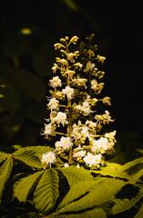 White flowers of chestnut