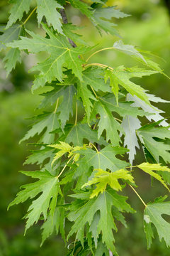 Maple silvery (Acer saccharinum L.), a branch with leaves