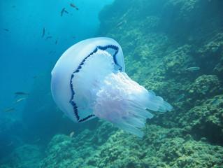 Barrel jellyfish, Rhizostoma pulmo, with rock in background, Mediterranean sea, France