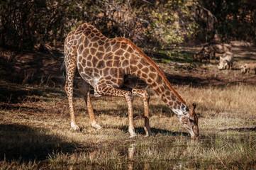 Giraffe trinkend am Wasserloch