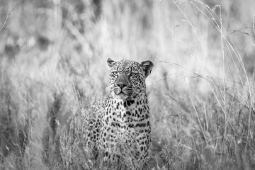 Leopard in the grass in black and white in the Kruger National Park.