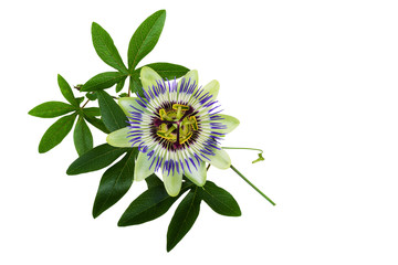 Passiflora or Passion Flower. Homeopathic plant.