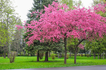Cherry blossoms tree, in spring season, in a park